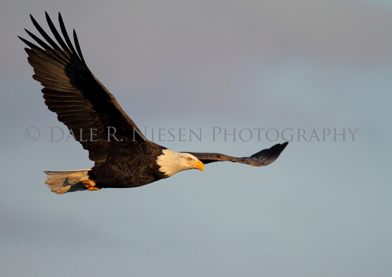 An American Bald Eagle soaring into the setting sun over the Mississippi River in Iowa.