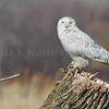 Snowy Owl at Pointe Mouillee State Game Area, Monroe County, Michigan