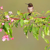Ruby-throated Hummingbird and apple blossoms on a spring day in my back yard.