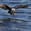 An American Bald Eagle on the hunt over the Mississippi River in Iowa.