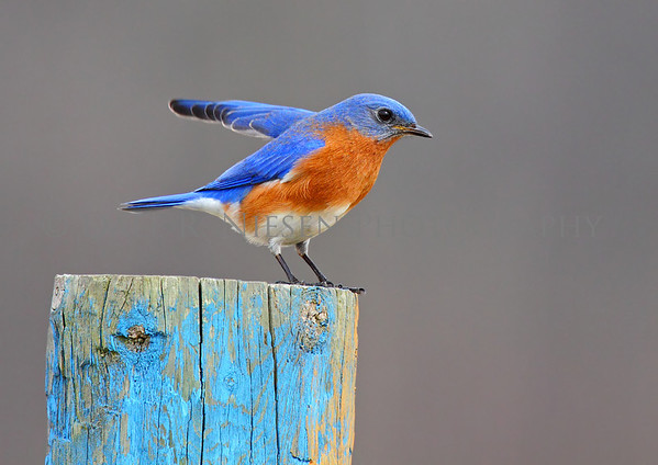Eastern Bluebird doing a courtship display