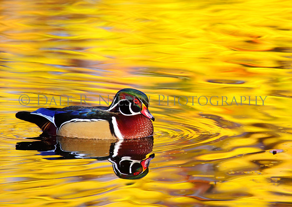 Wood Duck and Fall color reflections