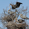 Great Blue Herons at their nesting rockery at Kensington Metro Park.