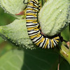 Monarch Butterfly larvae on Common Milkweed.