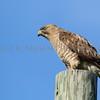 Broad-winged Hawk taken near Seney National Wildlife Refuge, Seney, Michigan