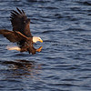 A Bald Eagle on the Mississippi River in Iowa.