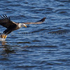 Bald Eagle on the hunt over the Mississippi River in Iowa.