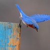 Eastern Bluebird at take off from his fence post berch.