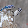 Blue Jay's playing king of the stump.