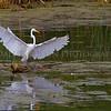 Great Egret landing in a marsh