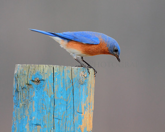 Esatern Bluebird looking for lunch