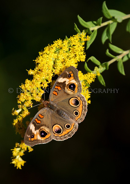 Common Buckeye Butterfly on Golden Rod