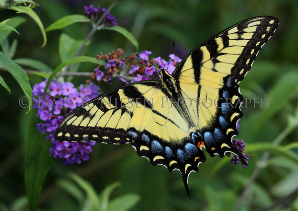 Eastern Tiger Swallowtail Butterfly (female)